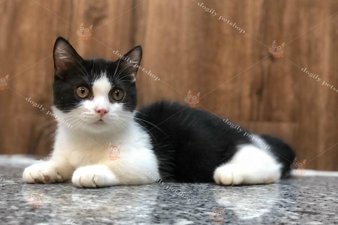 Mèo tuxedo đen trắng mặt cu, mũi hồng 2 tháng tuổi