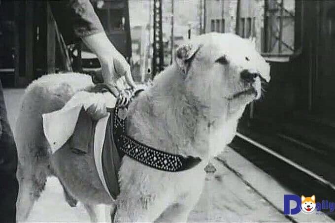 Hình ảnh chú chó Hachiko với đôi mắt buồn bã, ngóng chờ chủ nhân quay về trong vô vọng đã làm lay động hàng triệu trái tim yêu thương.