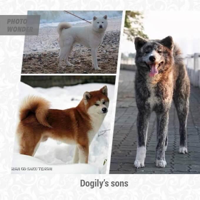 Dogily's son. Ba chàng trai nhà Dogily: Kaitp (silver brindle, shinichi (white), manzo (red)
