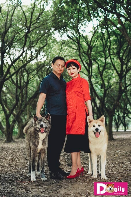 Chó Akita Inu có thân hình săn chắc, khỏe mạnh và cân đối. Trong hình là hai chú chó của Dogily Kennel: Kaito - Silver Brindle Akita (bên trái) và Simba (red Akita) bên phải