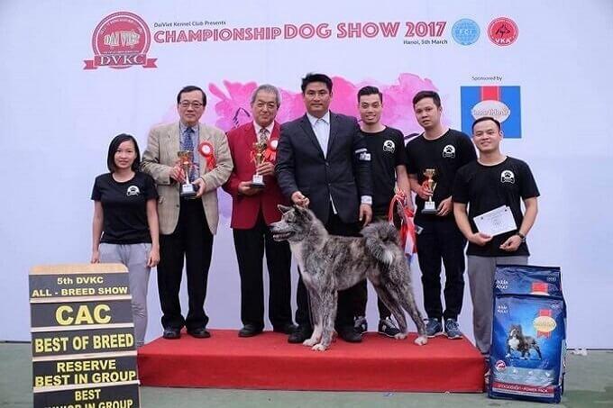 Chú chó Akita Izumi Gai Kaito nhập Nga của Dogily Kennels. Vietnam Junior Champion. Bố là nhà vô địch châu Âu Suzuki