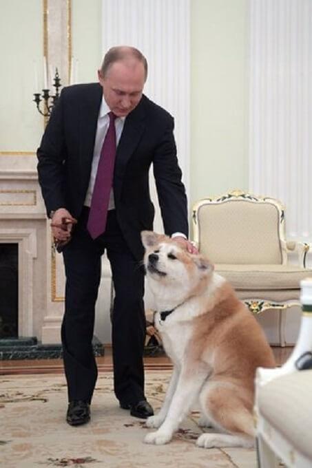 Chú chó Akita tên Yume - giấc mơ của Tổng thống Nga Putin