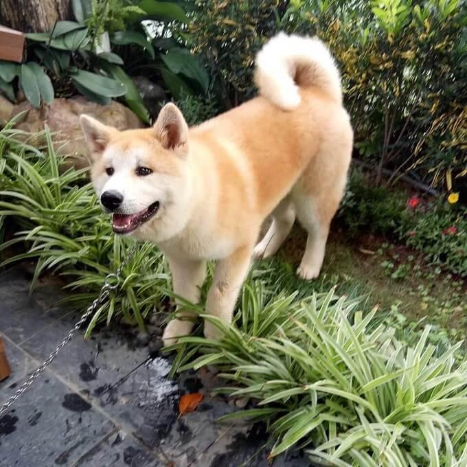 Chú chó Mochi của dogily.vn đang sống hạnh phúc cùng gia đình tại khu Vinhomes River side Long Biên.