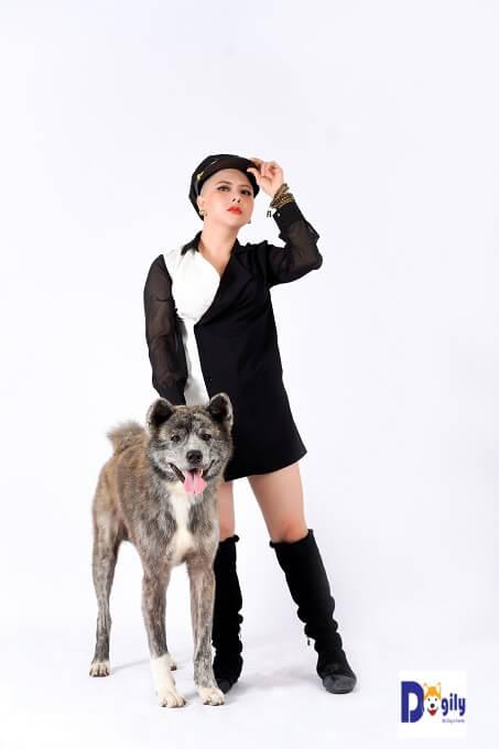 Hình ảnh chú chó Akita Izumi Gai Kaito của Dogily. Bố là Suzuki, vô địch châu Âu được nhập khẩu trực tiếp từ Nhật Bản.