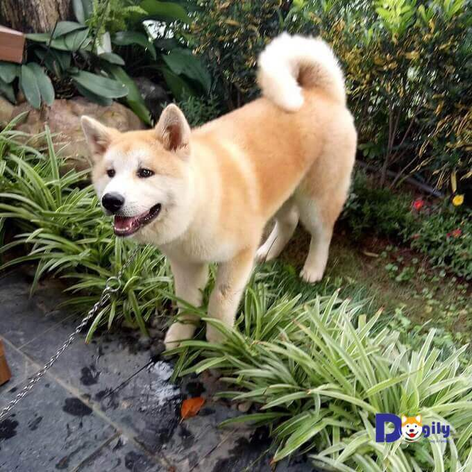 Chú chó tên Mochi của Dogily Petshop đang sống hạnh phúc cùng gia đình tại khu Vinhomes River side Long Biên.