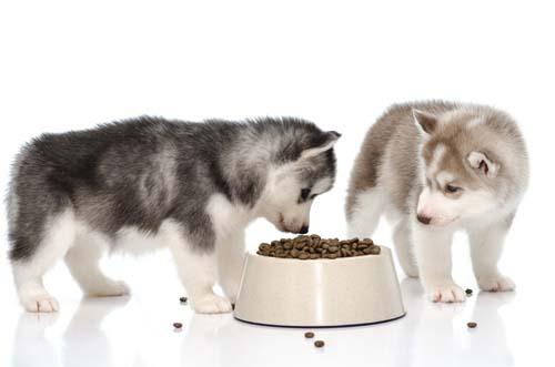 husky ăn gì