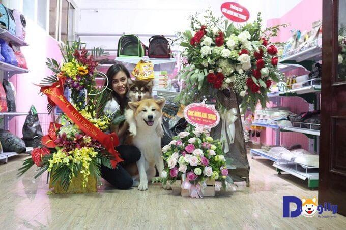Màu lông là yếu tố ảnh hưởng lớn thứ hai đến giá chó akita. Tại Việt Nam, để mua chó akita màu vàng trắng, bạn phải trả thêm từ 3-5 triệu đồng/bé so với giá chó akita vện.