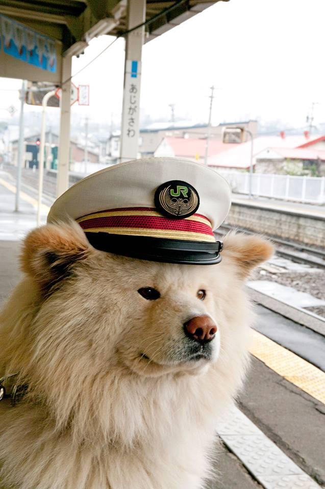 Trưởng ga tàu chú chó Akita lông dài Wasao