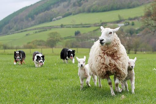 Hình ảnh chó Collie chăn cừu trên đồng cỏ tuyệt đẹp nước Anh