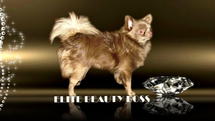 Bán chó chihuahua nhập khẩu: Elite Beauty Boss. Giới tính: đực, màu: lilac, cân nặng: 2,5 kg