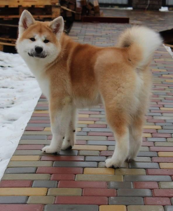 Chú chó Yoshiko đưc giống được Dogily.vn nhập về Việt Nam tháng 03/2018. Bố mẹ đều vô địch Ucraina. Là thế hệ gen quý tiếp theo của Dogily Kennel