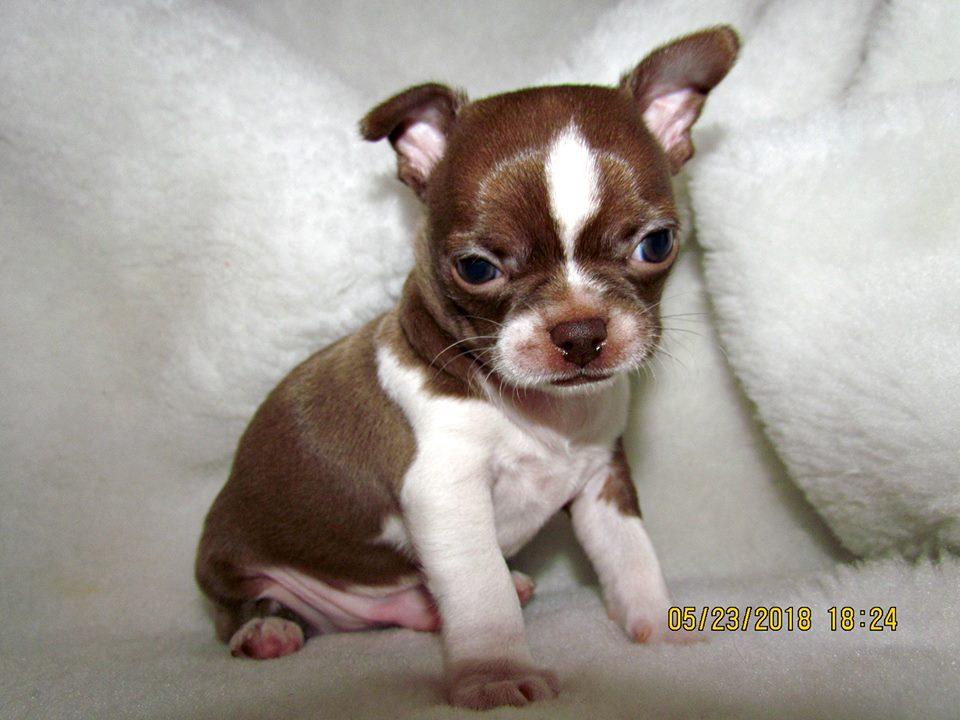 Bán chó chihuahua nhập khẩu châu Âu. Gia phả cực đẹp gồm các nhà vô địch nhiều nước châu Âu
