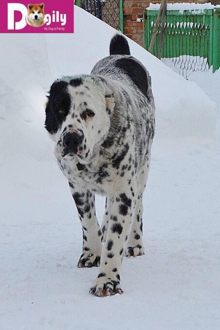 Bán chó Alabai nhập khẩu Liên bang Nga tháng 12.2018. Màu cực hiếm và khủng của Dogily Petshop