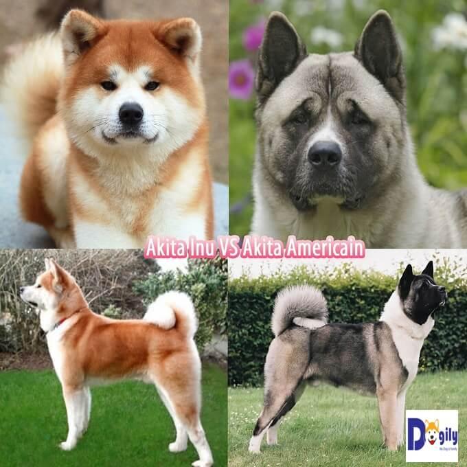 So sánh giữa Akita Inu Nhật và chó akita Mỹ