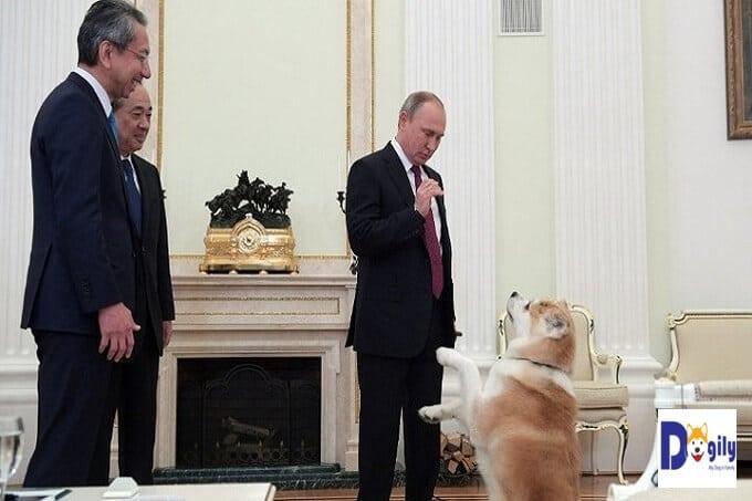 Yume. Chú chó Akita của Tổng thống Liên bang Nga Putin