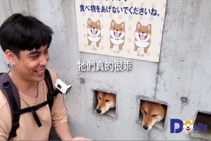 Ba chú chó Shiba Inu thò đầu qua ô vuông trên tường rào để chơi với khách du lịch. Nếu không bị mắc kẹt bở ô vuông bé đó, chắc hẳn ai cũng muốn bế những chú chó đáng yêu, hài hước này vào lòng.