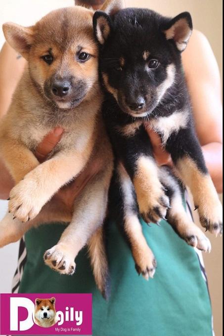Mua bán hợp đồng rõ ràng. Giấy tờ kèm theo gồm giấy VKA, sổ tiêm chủng, giấy bảo hành và hướng dẫn chăm sóc chó con.
