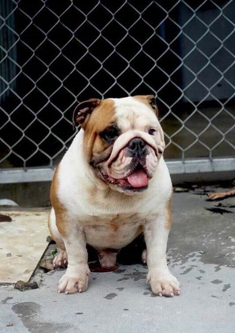 Phối giống chó Bulldog nhập khẩu châu Âu. Bố là nhà vô địch Nga