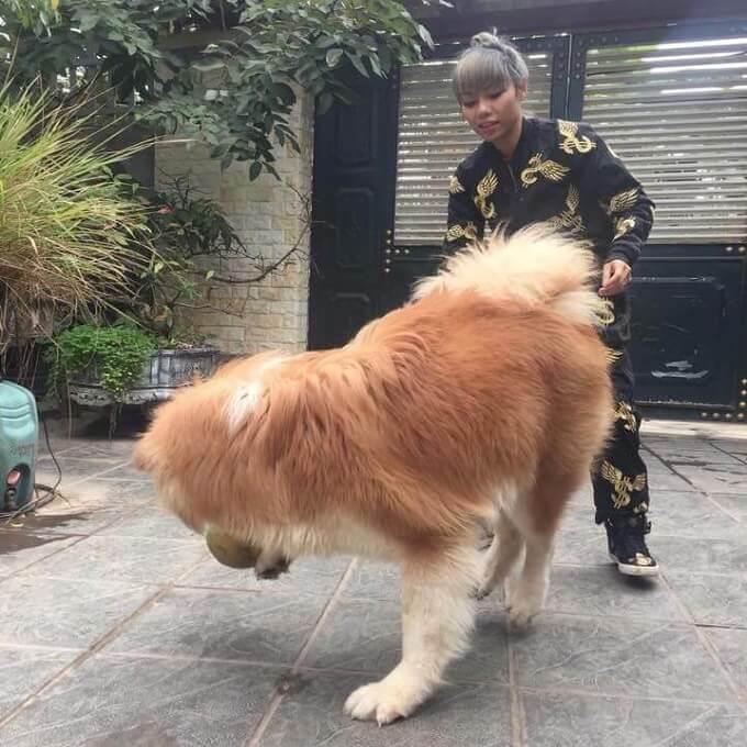 Nguyễn Mai Phương (Phương J'adore) đang vui đùa cùng chú chó Songoku nổi tiếng của mình. Mọi người có thể hình dung được vóc dáng thực sự của một em Akita lông xù.