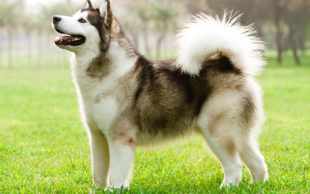 Một chú chó Alaska xám trắng điển hình