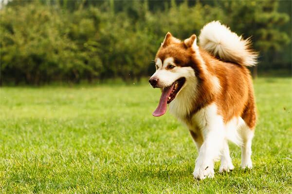 Một chú chó Alasa nâu đỏ thuần chủng