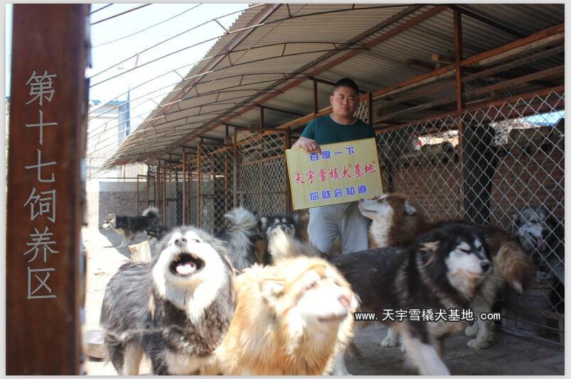 Một trang trại chó alaska tại Trung Quốc