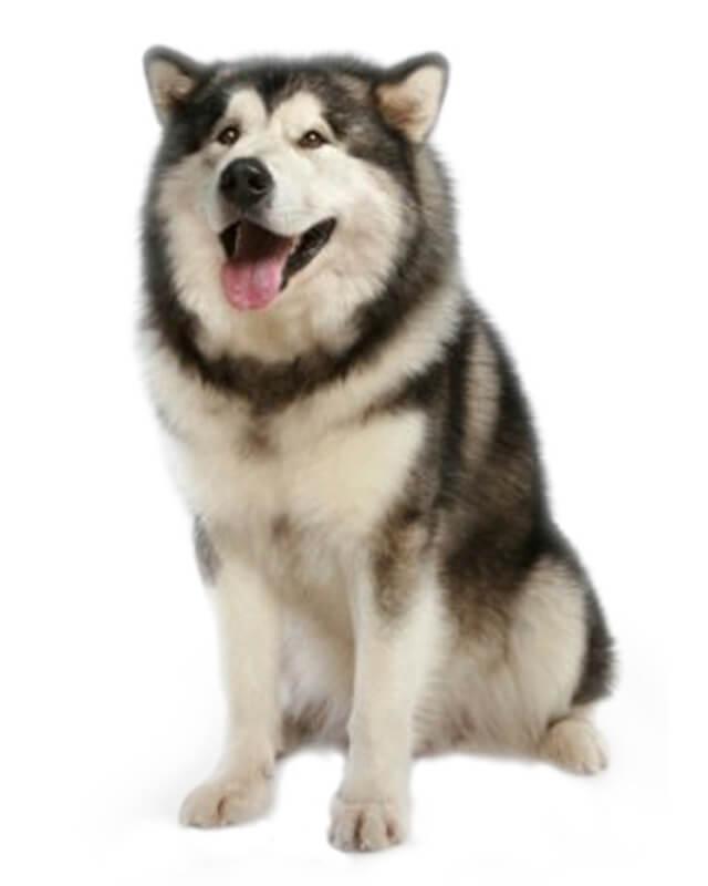 Một chú chó alaska thuần chủng theo tiêu chuẩn của FCI