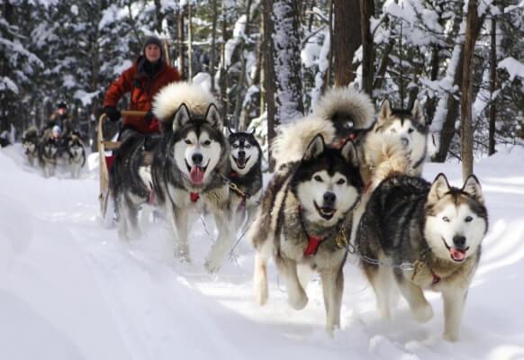 Trong lịch sử, chó Alaska thường được sử dụng làm chó kéo xe trượt tuyết