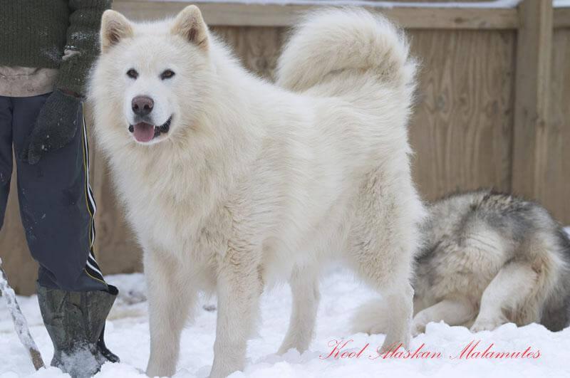 Một chú chó Alaska màu trắng tinh khiết cực hiêm. Màu trắng cũng là màu đắt nhất của chó Alaska
