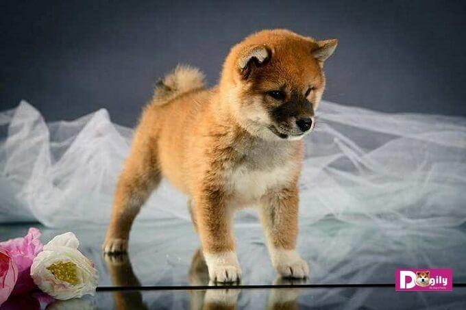 Chó Shiba Inu tuy có thân hình nhỏ nhắn nhưng rất cơ bắp và săn chắc, nhanh nhẹn.