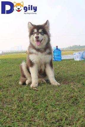 Sói - Chú chó Alaska tuyệt đẹp của Dogily Kennel. Với gương mặt đẹp hài hòa, sắc nét. Được chăm sóc với chế độ dinh dưỡng và vitamin tiêu chuẩn nên Sói có cơ thể mạnh mẽ, và cân đối