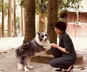 Chó Border Collie - Giá mua bán chó collie biên giới tại Tphcm và hà nội