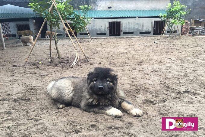 Một chú chó Caucasian 3 tháng tuổi tại trang trại Dogily Kennel. Được nhập khẩu từ Ucraina về Việt Nam tháng 03.2018