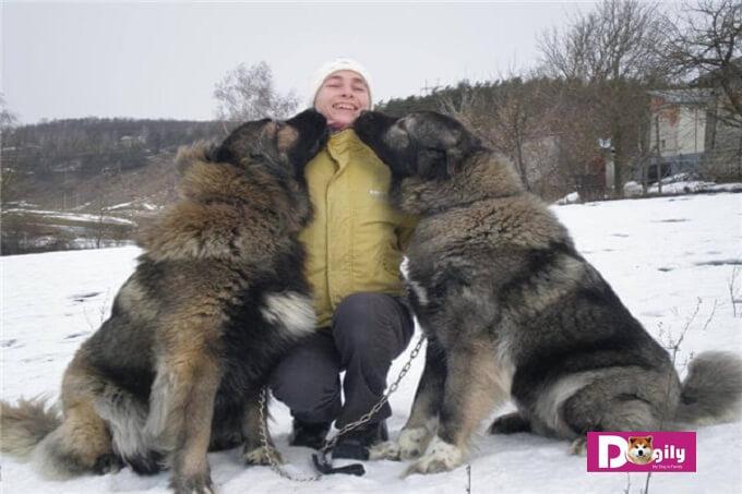 Với bộ lông dày, chó chăn cừu Kavkaz cần được chải chuốt thường xuyên