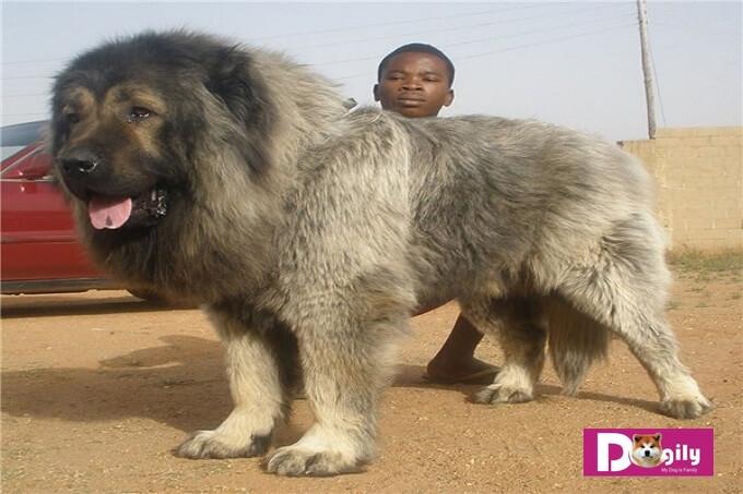 Chó Caucasian còn có tên gọi khác là chó chăn cừu Kavkaz