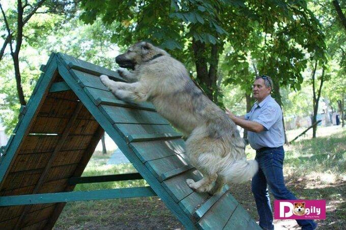 Chó Caucassian là loài chó to lớn nhât trên hành tinh hiện nay