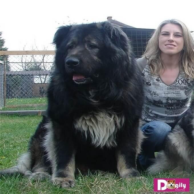 Chó Caucasian là loài chó duy nhất có thể chiến đấu sòng phẳng với chó Sói