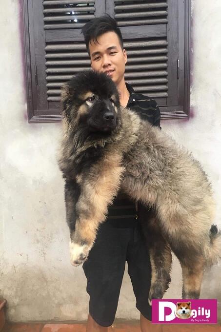 Chú chó Caucasian cái được Dogily Kennel nhập khẩu về Việt Nam tháng 03.2018