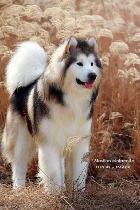 alaska malamute thu hút ngay từ cái nhìn đầu tiên bở vóc dáng mạnh mẽ đầy cuốn hút