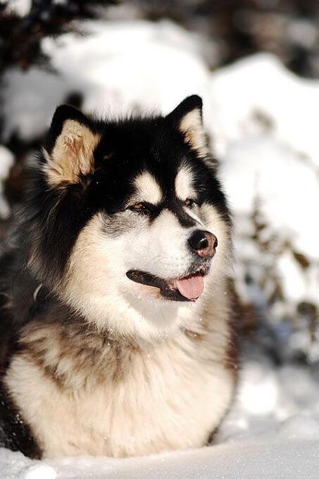 Hình ảnh chó alaska malamute với bộ lông đen trắng điển hình