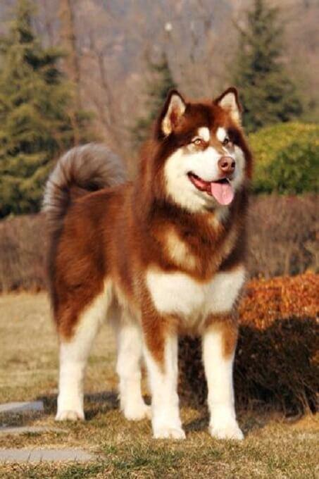 Hình ảnh một chú chó alaska nâu đỏ tuyệt đẹp