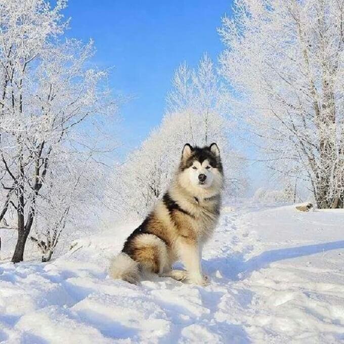 Hình ảnh kinh điển một em chó alaska xám trắng trong khung cảnh băng tuyết đầy thơ mộng