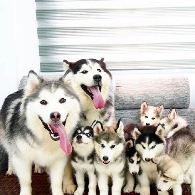 Một gia đình chó alaska ngập tràn hạnh phúc