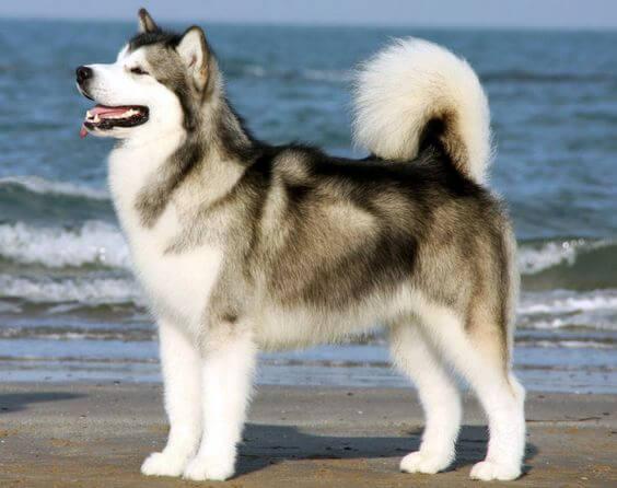 Hình ảnh chó alaska đẹp. Một em cún alaska có bộ lông được chăm sóc cực cẩn thận