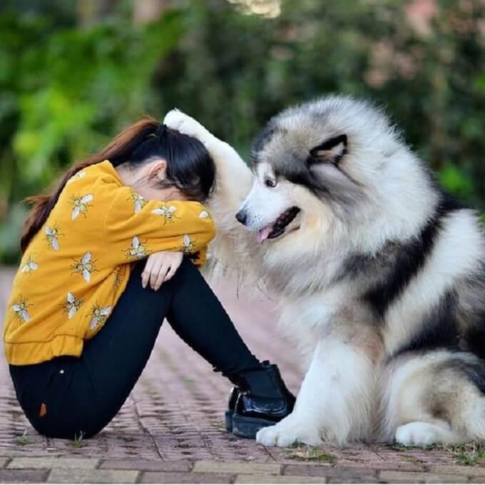 Chó alaska luôn đem đến bạn niềm vui, sự chia sẻ, an ủi mỗi khi bạn cảm thấy buồn...