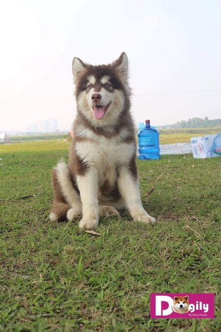 Hình ảnh chú chó Alaks giant của Dogily Petshop. Mặc dù mới gần 3 tháng tuổi mà đã có vóc dáng rất vạm vỡ, to lớn.