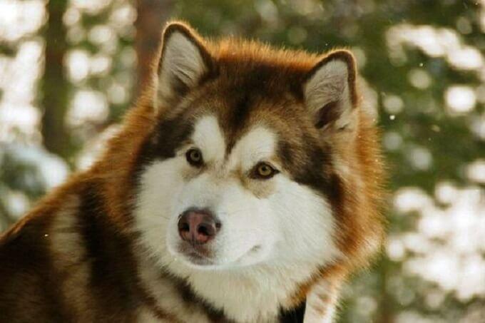 Gương mặt hình trái tim cân đối, rõ ràng của một chú chó alaska nâu đỏ tuyệt đẹp
