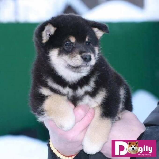 Chó Shiba có bộ lông với màu sắc tương đối đa dang. Có thể có các màu đỏ, nâu, đen hoặc seasame