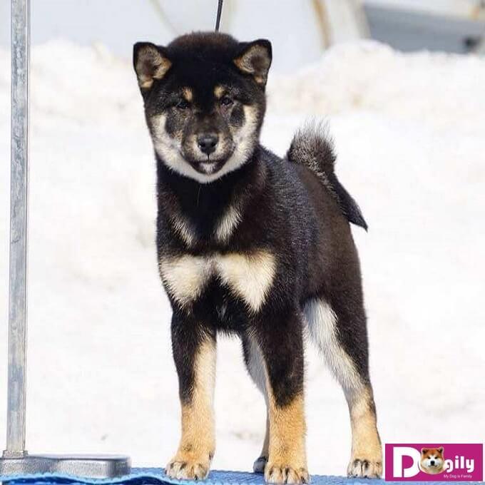 Chó Shiba Inu được hầu hết các tổ chức chó giống công nhận. Trong đó nổi bật nhất là FCI (Tổ chức chó giống quốc tế) và AKC (Câu lạc bộ chó giống Hoa Kỳ).