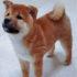 Kinh nghiệm chọn mua chó shiba inu thuần chủng khôn và khỏe mạnh